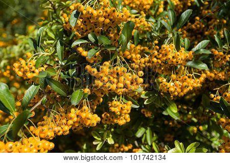 Sea Buckthorn Branch, Close-up (hippophae Rhamnoides)