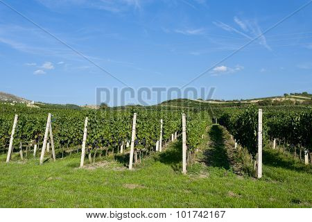 Vineyards Under Palava. Czech Republic