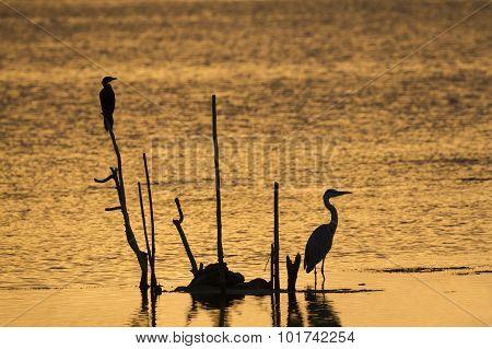 Grey Heron And Little Cormorant In Arugam Bay Lagoon, Sri Lanka