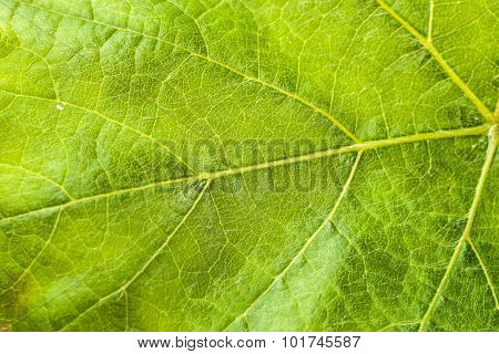 Macro Of Leaf Structure. Nature Background.