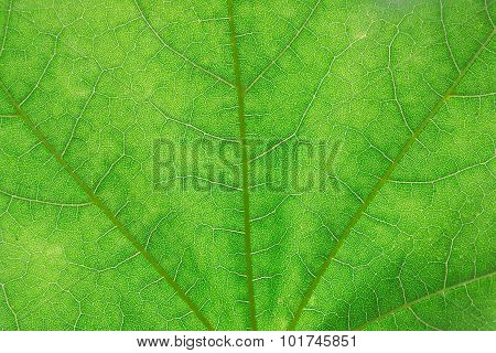 green leaf texture for wallpaper