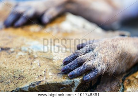 Close up of Snow Monkey Japanese Macaques hand