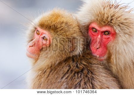 Snow Monkeys Japanese Macaques at onsen hot springs at Nagano, Japan