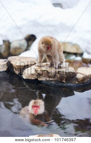 Snow Monkeys Japanese Macaques bathe in onsen hot springs at Nagano, Japan