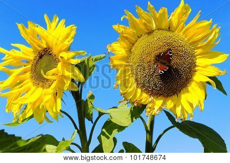 Sunflowers Against The Blue Sky And Butterfly