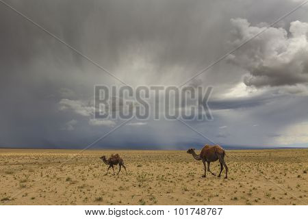 Camels On The Background Of Desert And Mountains. The Gobi Desert. Mongolia.