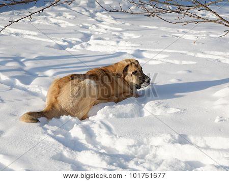 Spanish Mastiff In Snowdrift Winter Day
