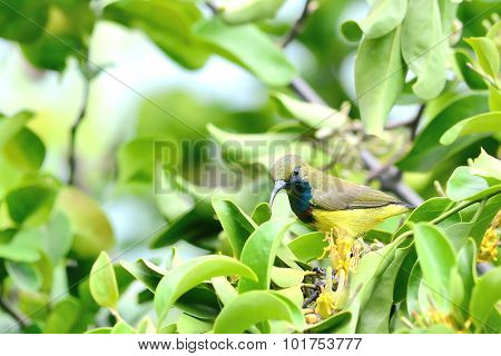 Olive-backed Sunbird Perching On Branch And Flower