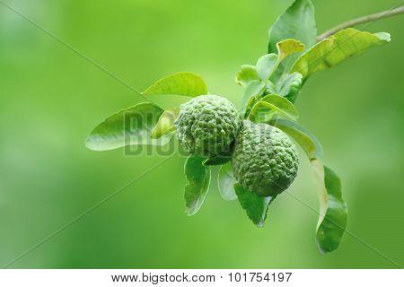 Kaffir Lime And Leaves