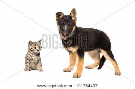 German Shepherd puppy and kitten Scottish Straight together