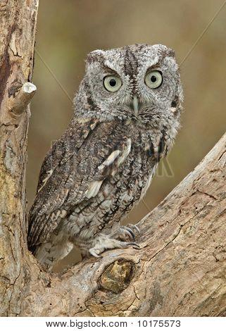 Alert Little Screech Owl