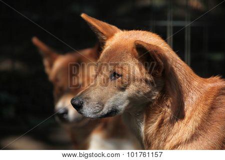 Dingo (Canis lupus dingo). Wild life animal.
