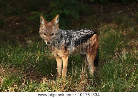 Black-backed jackal (Canis mesomelas). Wild life animal.