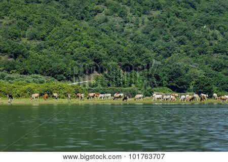 Cow herd.
