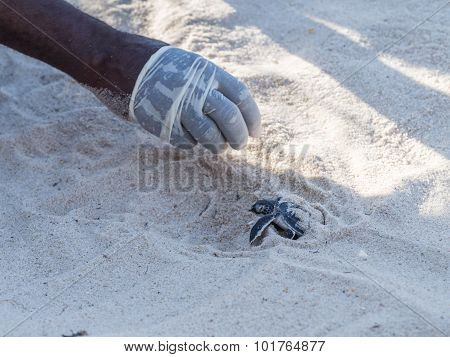 Green Turtle Hatching