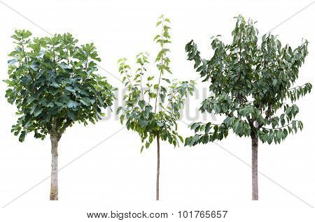 tree of fig, cherry and mulberry
