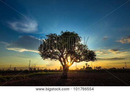 Lonely Tree with in the background sunset
