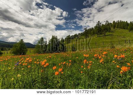Amazing Views Of The Flowery Meadow On Background Of The Mountains. Orange Globeflowers.