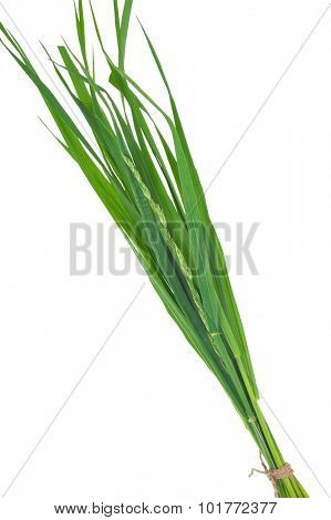 Medicinal plant: Elytrigia repens. Couch-grass
