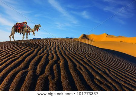 Sand dunes. The contrast of light and shadow on the waves of sand in the morning. Camel with harness and blanket for walking tourists