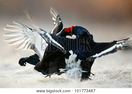 Fighting Black Grouse