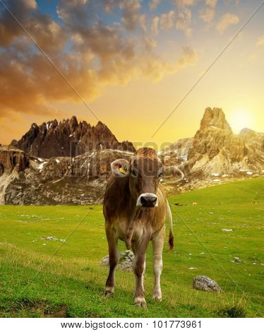Cow in the meadow at sunset - Dolomite Alps,Italy