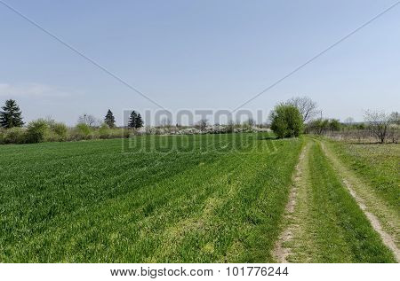 Sown wheat field and blossom trees in spring