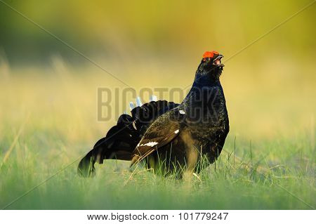 The Black Grouse Or Blackgame (tetrao Tetrix).