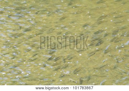 School Of Fish In Shallow Water