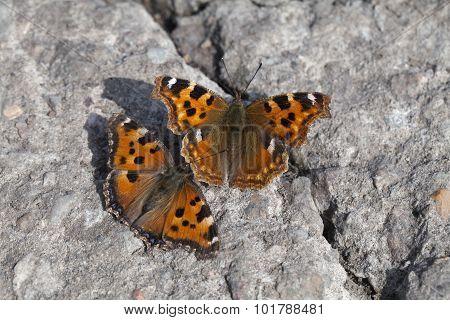 Vanessa Atalanta Butterflies