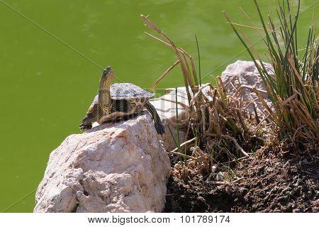 Terrapin turtle portrait.