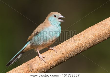 Female Blue Waxbill (uraeginthus Angolensis) Calling From A Branch