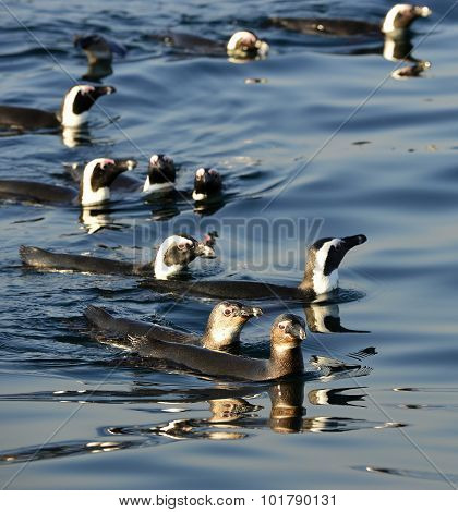Swimming Penguins. The African Penguin (spheniscus Demersus)