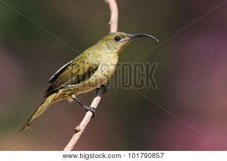 Olive Sunbird (cyanomitra Olivacea) Perched On A Branch Wet From Bathing
