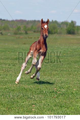 Beautiful  bay foal galloping