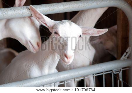 Freshly Shaved Lambs