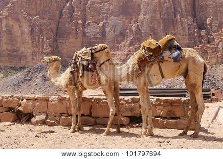 Camel In The Wadi Rum Desert,Jordan