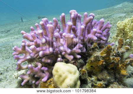 Coral Reef With Pink Finger Coral In Tropical Sea, Underwater