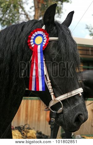 Award Winning Friesian Stallion  During Celebration