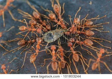 Ants Troop Trying To Move A Dead Insect