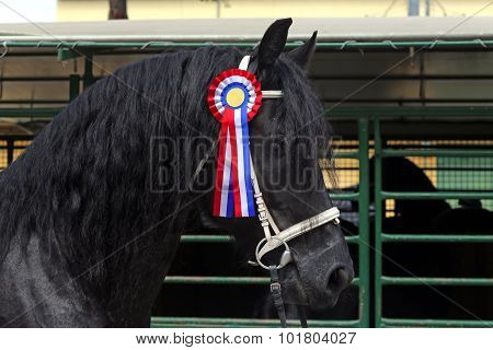 Beautiful Prize-winning Purebred Friesian Horse