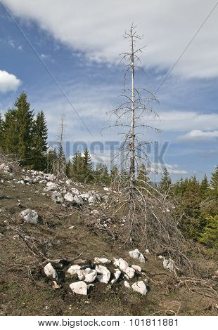 Dead Forest In The Mountains