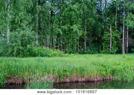 Summer birchwood, grass and pond in Gatchina. St. Petersburg. Russia