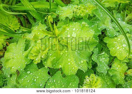 Egyptian White Water-lily Lotus Plant