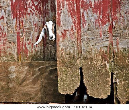 Goat And Old Barn Door