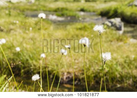 Eriophorum Vaginatum L. (hare's-tail Cottongrass, Tussock Cottongrass, Sheathed Cottonsedge)