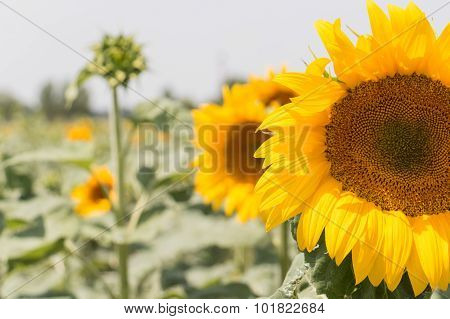 Field Of Blooming Sunflowers - Close Up