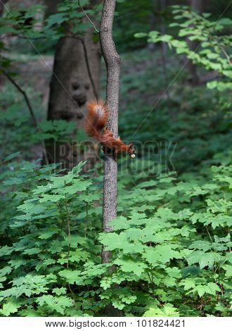 Red Squirrel On Tree With Walnut