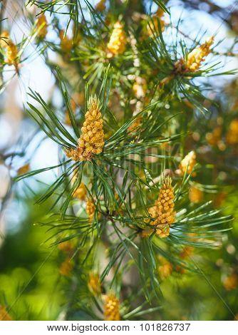 Evergreen Pollination On Fir Tree