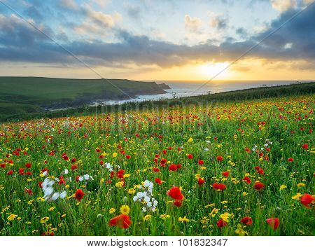 Wild Flowers At Porth Joke Cornwall